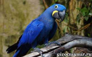 Синие попугаи фото