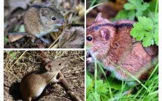 Мышь с полосой вдоль спины
