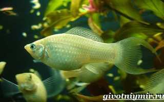 Моллинезии рыбки размер