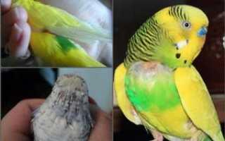Почему попугай лысеет