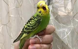 Волнистый попугай дергается
