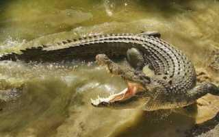Почему исчез гребнистый крокодил