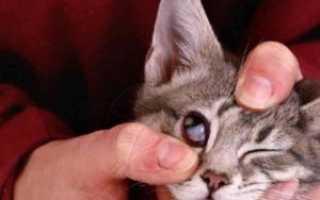 Видимое третье веко у кошек фото