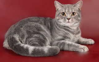 Окрас табби у кошек шотландской породы