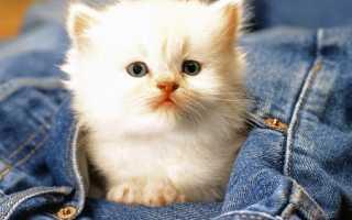 Белый окрас кошек разных пород