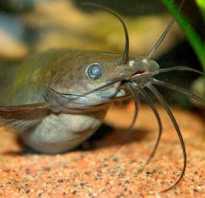 Аквариумные рыбки сомики фото