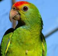 Аллергия от попугая