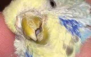 Обработка попугая от клеща