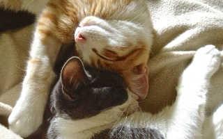 Вязка кошек как правильно
