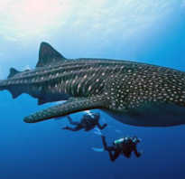 Китовая акула опасна для человека