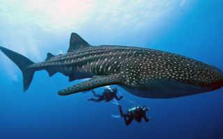Китовая акула опасна