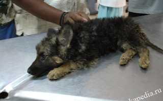 Собака после чумки