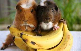Можно ли свинкам банан