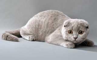 С кем можно вязать вислоухую кошку