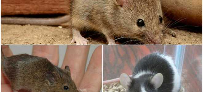 Сколько весит мышь