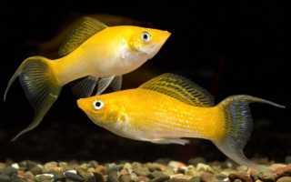 Моллинезия и золотые рыбки