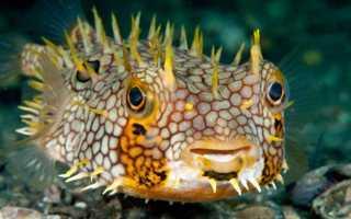 Рыба которая раздувается при опасности