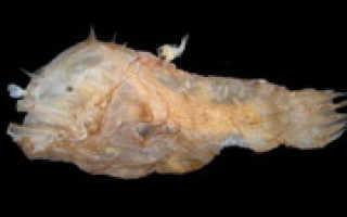 Какая самая маленькая рыба в мире