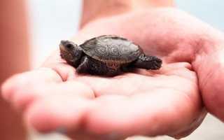 Мини красноухие черепахи