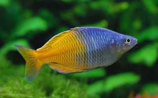 Рыбка радужница боэсмана