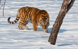 Книги об амурском тигре