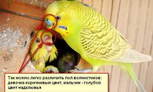 Попугай розелла как определить пол