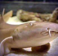 Акула нянька опасна для человека