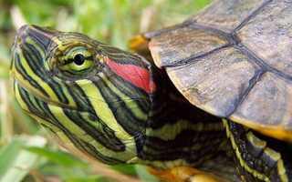 Как сделать террариум для красноухой черепахи