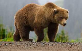 Вымирающие виды медведей