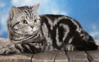 Табби окрас кошек британец
