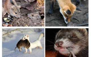 Враги мышей в природе