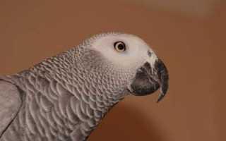 Домашний попугай жако