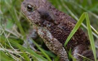 Сколько живут жабы