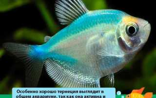 Рыбки для аквариума тернеция