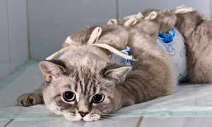 Как правильно завязать попону на кошке
