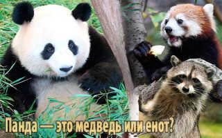 Панда это медведь или енот википедия