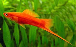 Меченосец рыбка вильчатый