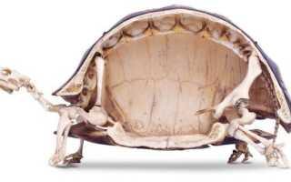 Черепахи без панциря фото