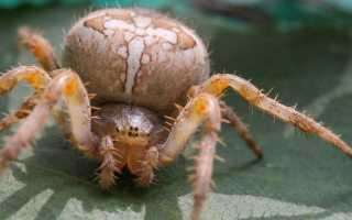 Строение паука картинки