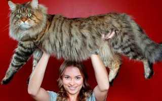 Виды крупных кошек