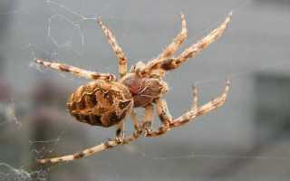 Ядовитые железы паука находятся