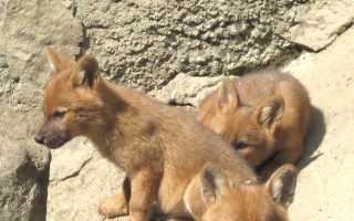 Причина вымирания красного волка
