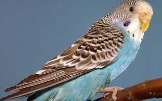 Как завести попугайчика