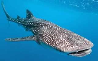 Самый большой вид акул