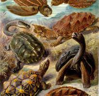 К какому отряду относятся черепахи