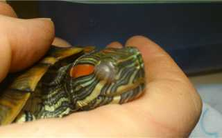 Болят глаза у красноухой черепахи