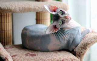 Кошки похожие на сфинксов