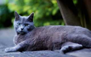 Голубой окрас кошек