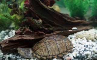 Мускусная килеватая черепаха