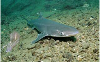Фото акула катран
